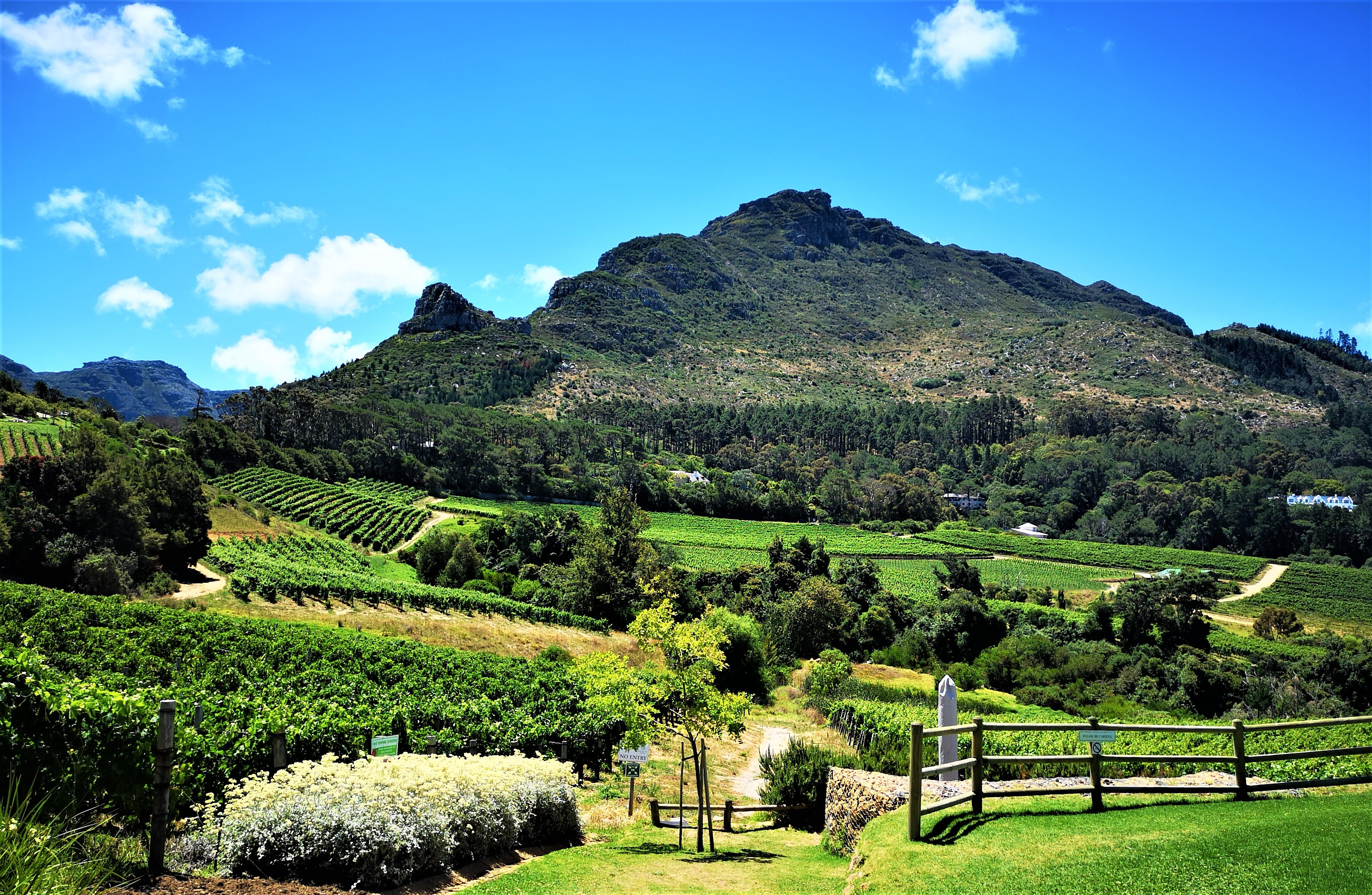 Constantia Vineyards with the backdrop of Cape Town mountains